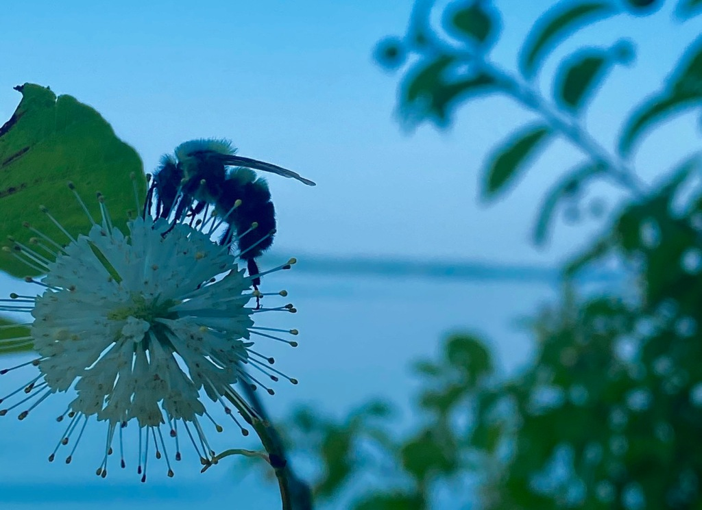 Bumblebee on Buttonbush